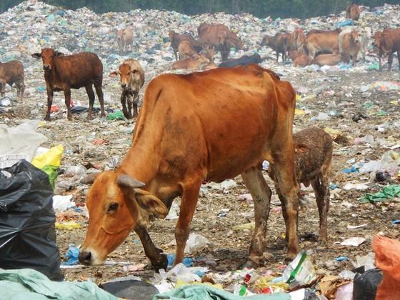 Hàng trăm con bò được chăn thả trên bãi rác lớn nhất thành phố Phan Thiết ảnh 5