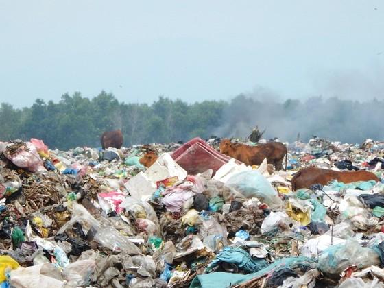 Hàng trăm con bò được chăn thả trên bãi rác lớn nhất thành phố Phan Thiết ảnh 3