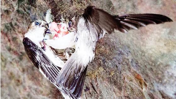 Phát triển bền vững nghề nuôi chim yến tại Việt Nam ảnh 4