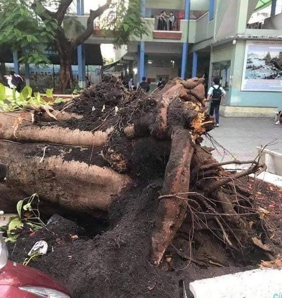 Công ty Công viên cây xanh TP.HCM nói gì về sự cố cây phượng ngã đỗ trong sân trường? ảnh 1
