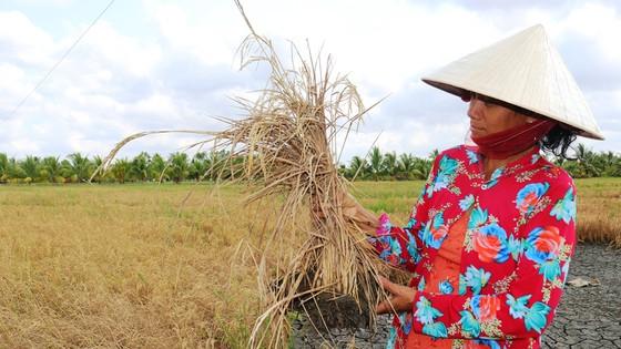 Đồng ruộng ở ĐBSCL chịu nhiều thiệt hại khi hạn mặn tăng cao