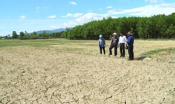 Cây lương thực khô cháy, chết dần vì hạn hán kéo dài ở khu vực Trung Trung bộ ảnh 10