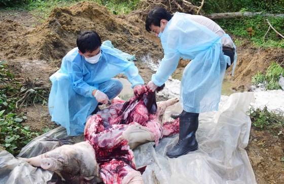 Thừa Thiên - Huế: Tiêu hủy gần 65.000 con heo vẫn xuất hiện ổ dịch tả heo châu Phi mới ảnh 1