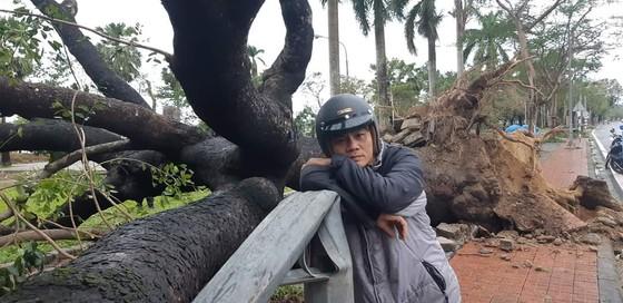 Tiếc nuối cây xà cừ cổ nhất cố đô Huế bị bão đánh bật gốc ảnh 2