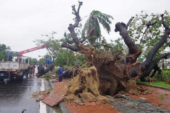 Tiếc nuối cây xà cừ cổ nhất cố đô Huế bị bão đánh bật gốc ảnh 1