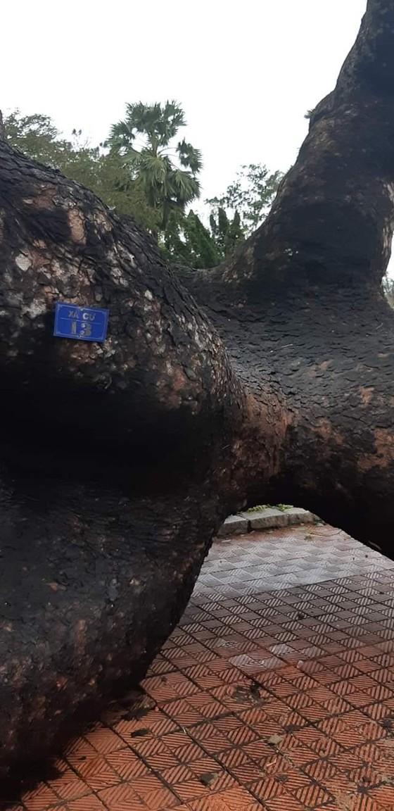 Tiếc nuối cây xà cừ cổ nhất cố đô Huế bị bão đánh bật gốc ảnh 4