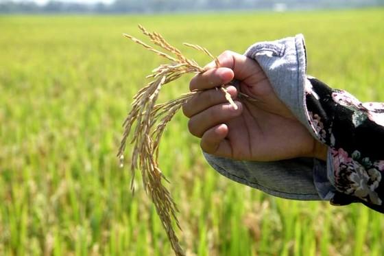 Đề nghị hỗ trợ tìm nguyên nhân khiến 10.636ha lúa bị thiệt hại ảnh 3