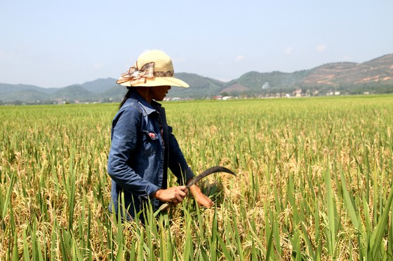 Đề nghị hỗ trợ tìm nguyên nhân khiến 10.636ha lúa bị thiệt hại ảnh 1