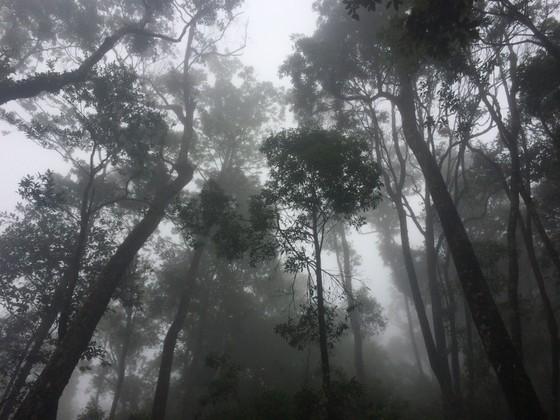 """Hà Tĩnh: Phát hiện cây pơ mu """"khủng"""" tại Vườn quốc gia Vũ Quang ảnh 4"""