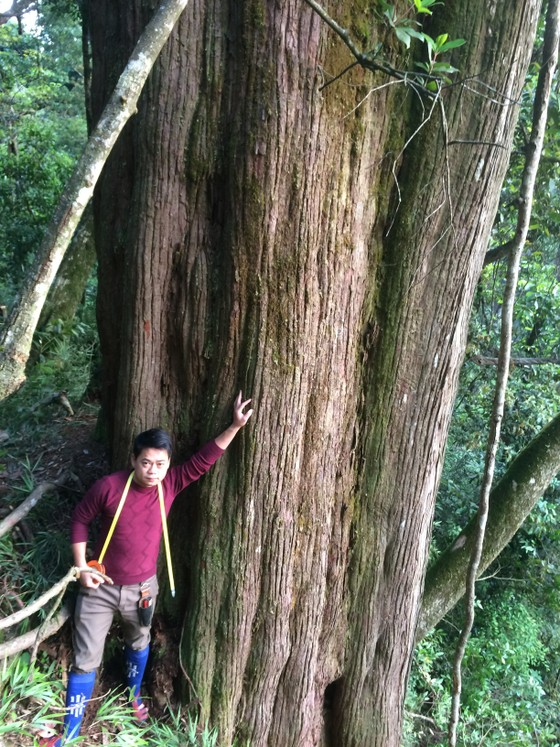 """Hà Tĩnh: Phát hiện cây pơ mu """"khủng"""" tại Vườn quốc gia Vũ Quang ảnh 2"""