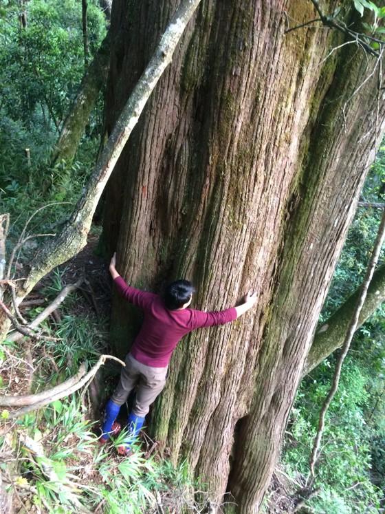 """Hà Tĩnh: Phát hiện cây pơ mu """"khủng"""" tại Vườn quốc gia Vũ Quang ảnh 1"""