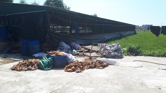 Hàng ngàn con gà của doanh nghiệp nuôi tại trang trại bị chết la liệt trong đêm ảnh 1