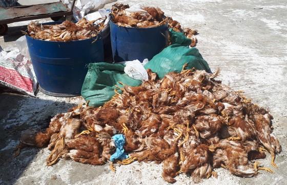 Hàng ngàn con gà của doanh nghiệp nuôi tại trang trại bị chết la liệt trong đêm ảnh 2