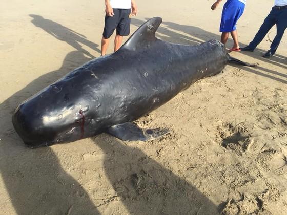 Phát hiện con cá voi nặng gần 1 tấn trôi dạt vào bờ biển ảnh 4