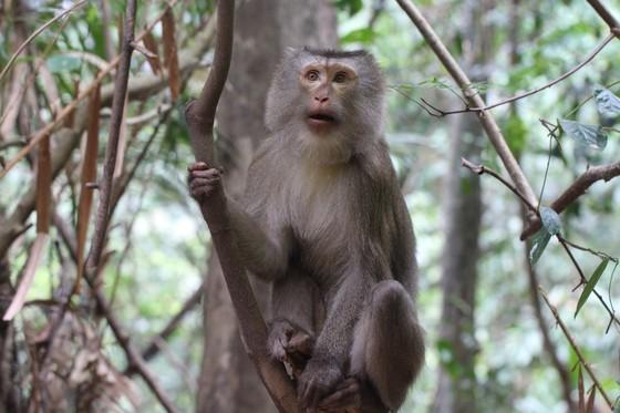 Ghi nhận 8 loài linh trưởng nguy cấp quý hiếm tại Vườn Quốc gia Vũ Quang ảnh 6