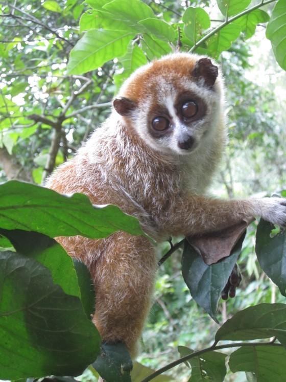 Ghi nhận 8 loài linh trưởng nguy cấp quý hiếm tại Vườn Quốc gia Vũ Quang ảnh 2