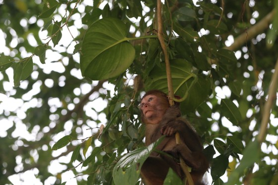 Ghi nhận 8 loài linh trưởng nguy cấp quý hiếm tại Vườn Quốc gia Vũ Quang ảnh 4