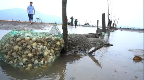 Hàng trăm tấn nghêu nuôi bị chết ở Hà Tĩnh do sốc nước ngọt sau mưa lũ ảnh 5