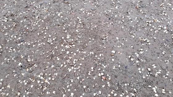 Hàng trăm tấn nghêu nuôi bị chết ở Hà Tĩnh do sốc nước ngọt sau mưa lũ ảnh 2