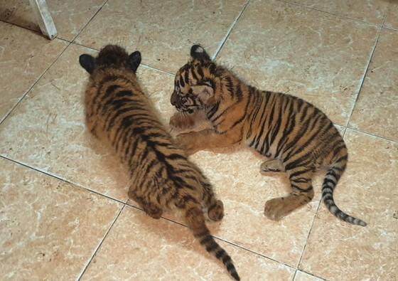Bắt vụ vận chuyển 2 hổ con quý hiếm bằng xe mô tô ảnh 1