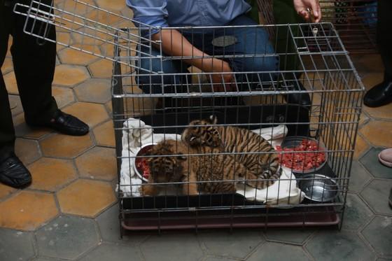 Bắt vụ vận chuyển 2 hổ con quý hiếm bằng xe mô tô ảnh 3