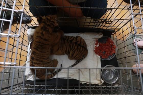 Bắt vụ vận chuyển 2 hổ con quý hiếm bằng xe mô tô ảnh 7