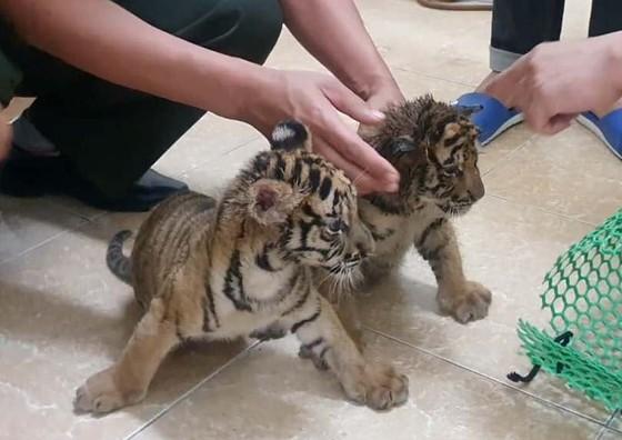 Bắt vụ vận chuyển 2 hổ con quý hiếm bằng xe mô tô ảnh 2