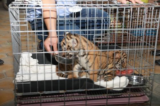 Bắt vụ vận chuyển 2 hổ con quý hiếm bằng xe mô tô ảnh 5