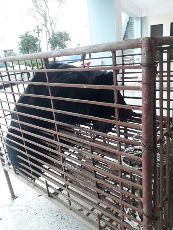 Bắt giữ vụ vận chuyển trái phép cá thể gấu quý hiếm  ảnh 3