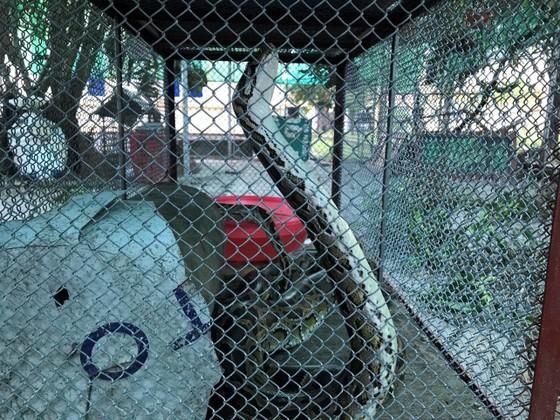 Vườn Quốc gia Vũ Quang tiếp nhận cá thể trăn gấm quý hiếm nặng 13kg ảnh 3