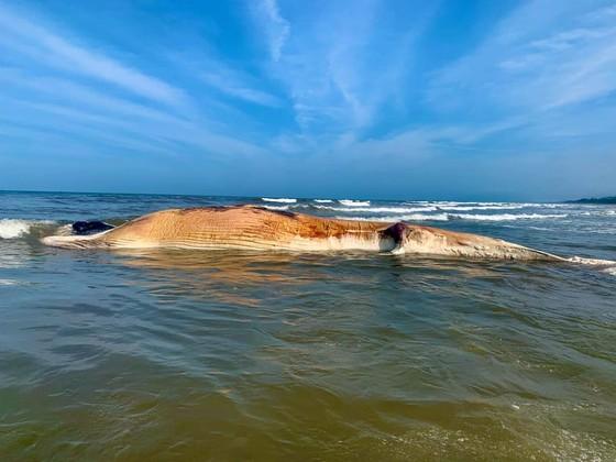 Phát hiện xác cá voi lớn trôi dạt vào bờ biển Hà Tĩnh ảnh 4