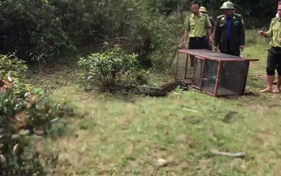 Thả trăn gấm quý hiếm nặng 35kg, dài gần 3m về tự nhiên ở Hà Tĩnh ảnh 4