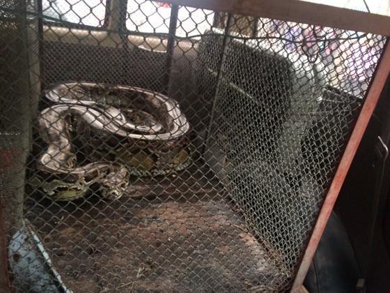 Thả trăn gấm quý hiếm nặng 35kg, dài gần 3m về tự nhiên ở Hà Tĩnh ảnh 2