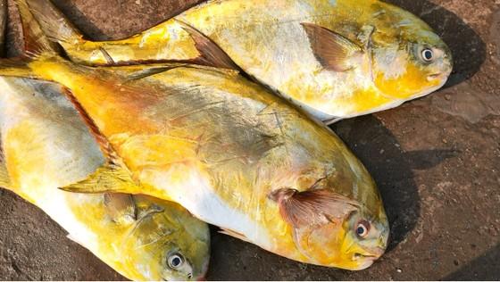 Ngư dân Hà Tĩnh trúng mẻ cá chim vây vàng khoảng 600 triệu đồng ảnh 6