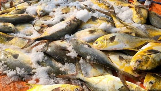 Ngư dân Hà Tĩnh trúng mẻ cá chim vây vàng khoảng 600 triệu đồng ảnh 1