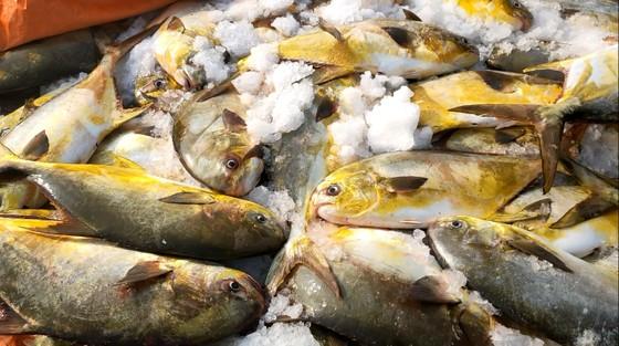 Ngư dân Hà Tĩnh trúng mẻ cá chim vây vàng khoảng 600 triệu đồng ảnh 2