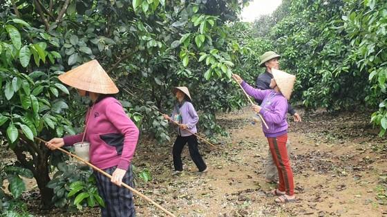 Vựa bưởi Phúc Trạch vào mùa thụ phấn bổ sung tăng tỷ lệ đậu quả ảnh 5