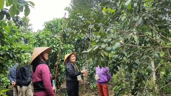 Vựa bưởi Phúc Trạch vào mùa thụ phấn bổ sung tăng tỷ lệ đậu quả ảnh 6
