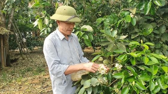 Vựa bưởi Phúc Trạch vào mùa thụ phấn bổ sung tăng tỷ lệ đậu quả ảnh 7