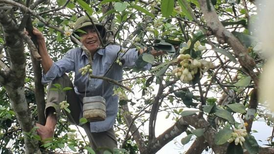 Vựa bưởi Phúc Trạch vào mùa thụ phấn bổ sung tăng tỷ lệ đậu quả ảnh 2