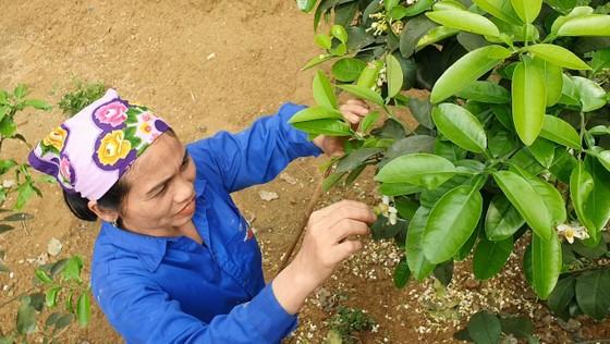 Vựa bưởi Phúc Trạch vào mùa thụ phấn bổ sung tăng tỷ lệ đậu quả ảnh 4