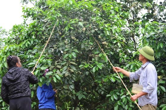 Vựa bưởi Phúc Trạch vào mùa thụ phấn bổ sung tăng tỷ lệ đậu quả ảnh 8