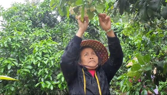 Vựa bưởi Phúc Trạch vào mùa thụ phấn bổ sung tăng tỷ lệ đậu quả ảnh 19