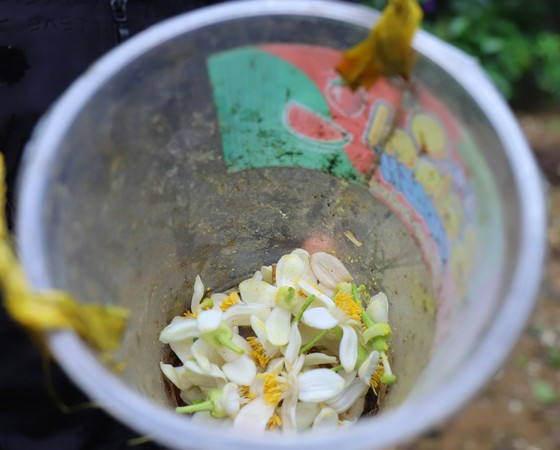 Vựa bưởi Phúc Trạch vào mùa thụ phấn bổ sung tăng tỷ lệ đậu quả ảnh 21