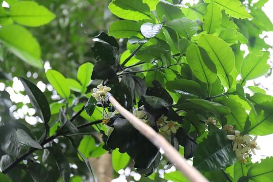 Vựa bưởi Phúc Trạch vào mùa thụ phấn bổ sung tăng tỷ lệ đậu quả ảnh 17