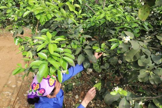 Vựa bưởi Phúc Trạch vào mùa thụ phấn bổ sung tăng tỷ lệ đậu quả ảnh 9