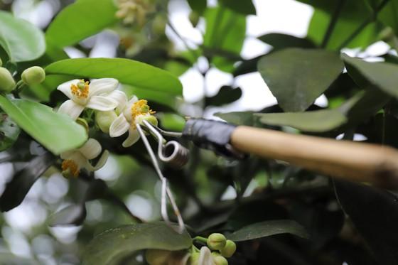Vựa bưởi Phúc Trạch vào mùa thụ phấn bổ sung tăng tỷ lệ đậu quả ảnh 18