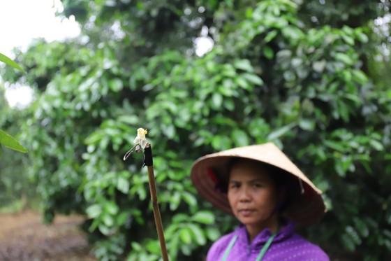 Vựa bưởi Phúc Trạch vào mùa thụ phấn bổ sung tăng tỷ lệ đậu quả ảnh 11