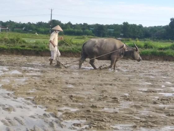 Hà Tĩnh: Hàng ngàn hecta lúa bị hư hỏng do ảnh hưởng mưa lớn phải gieo sạ lại ảnh 2