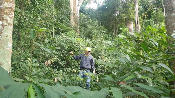 Rừng Tây Nguyên tăng hay giảm - Bài 2: Diện tích tăng, chất lượng giảm ảnh 1